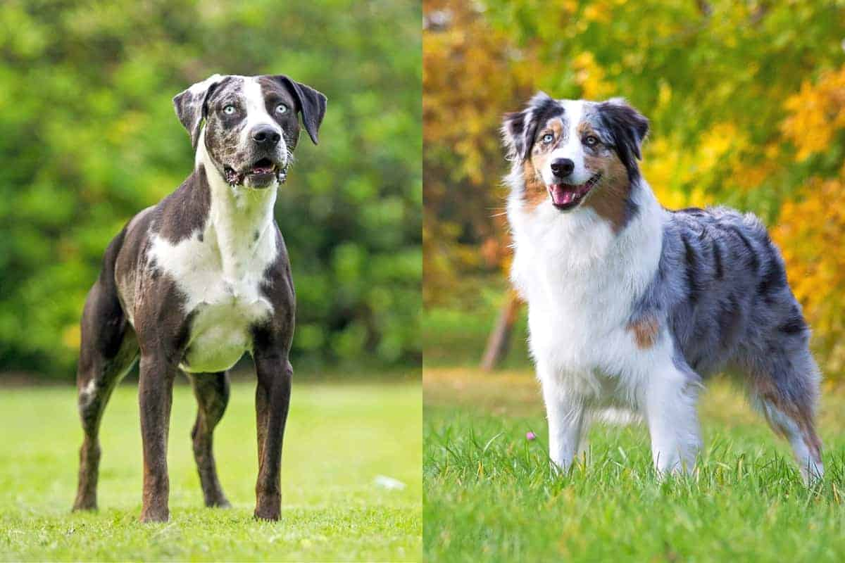 Catahoula Australian Shepherd mix breed info pictures and facts