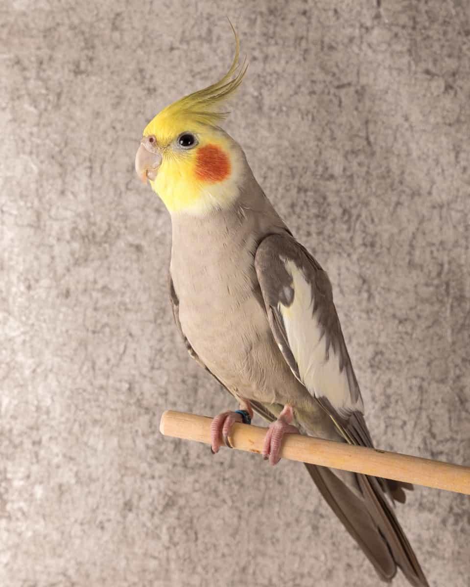 Cinnamon cockatiel