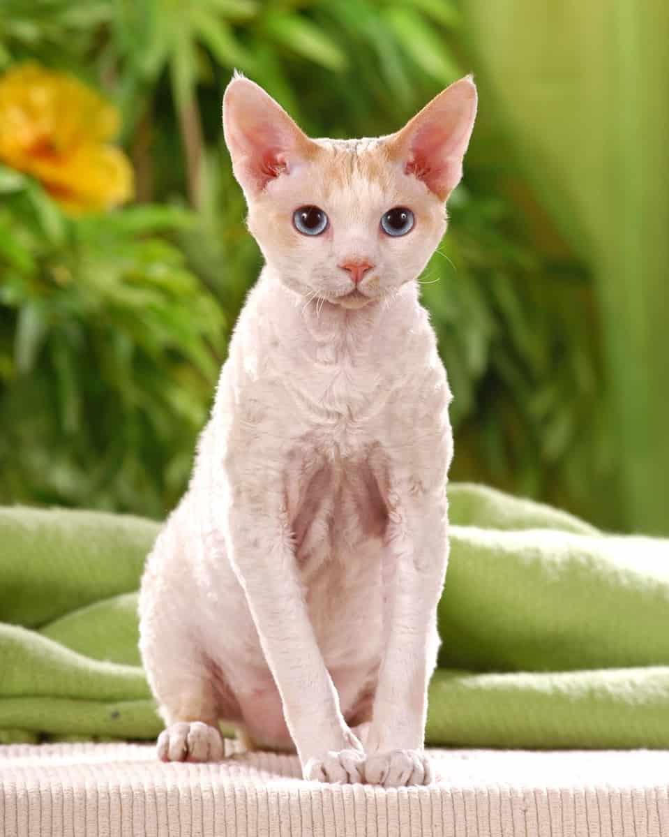 Cornish Rex Poodle cat