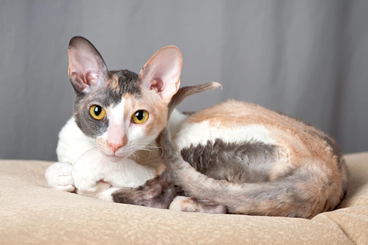 Cornish Rex cat or Poodle cat with tri color coat