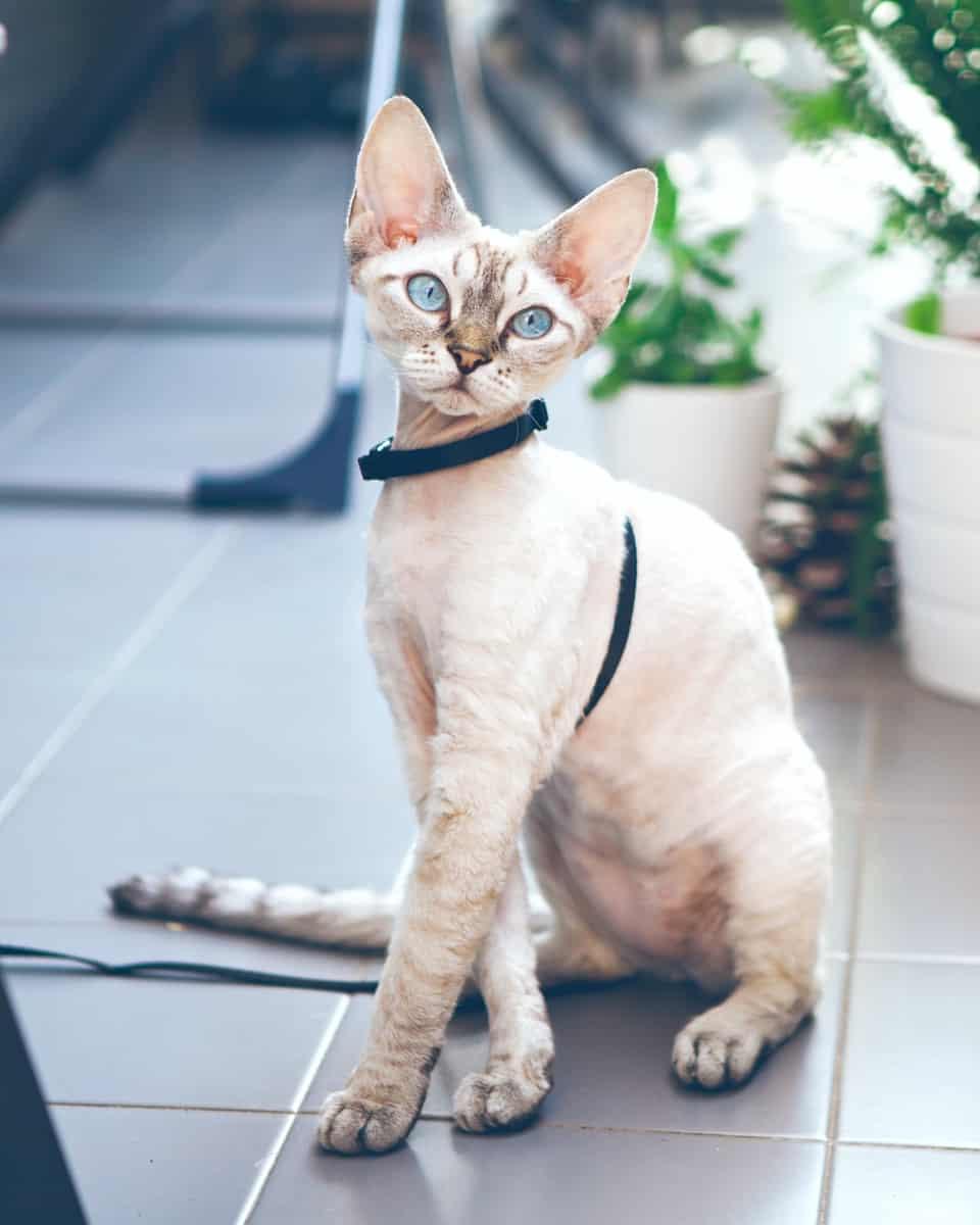 Devon Rex Poodle cat