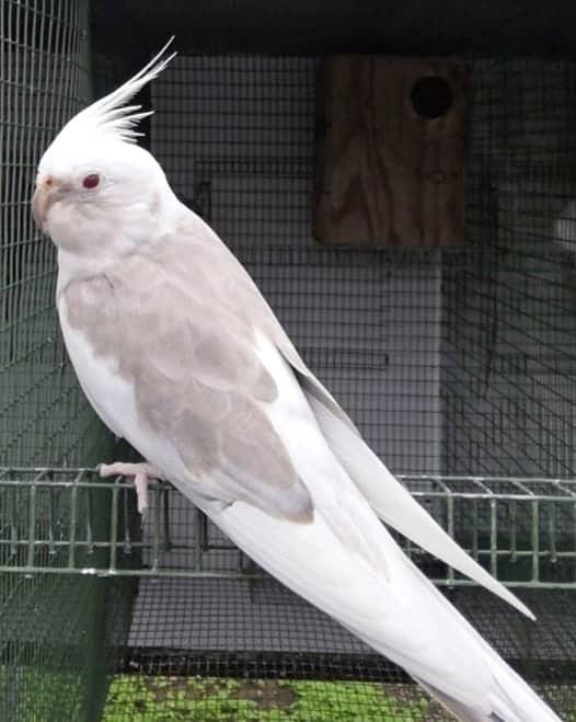 Fallow cockatiel color mutation