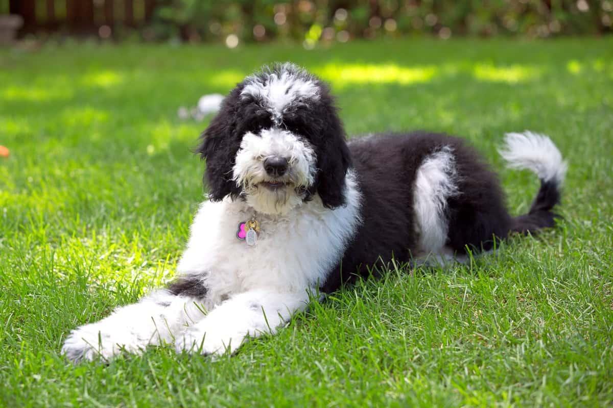 Fluffy black and white Sheepadoodle Old English Sheepdog Poodle mix