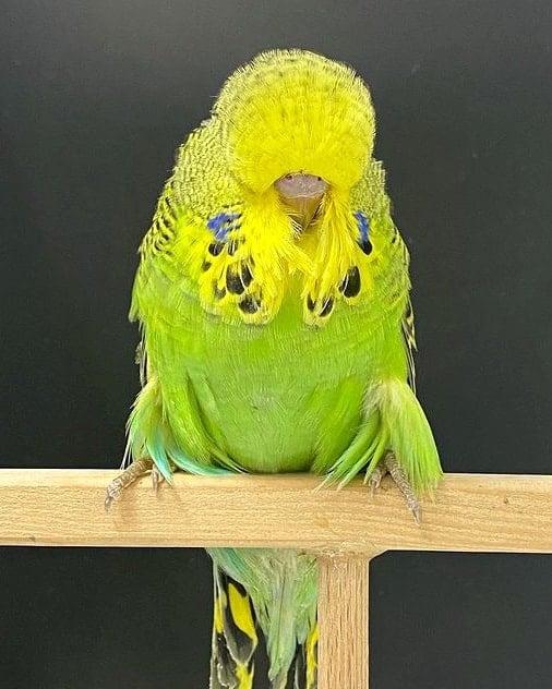 Green English budgie