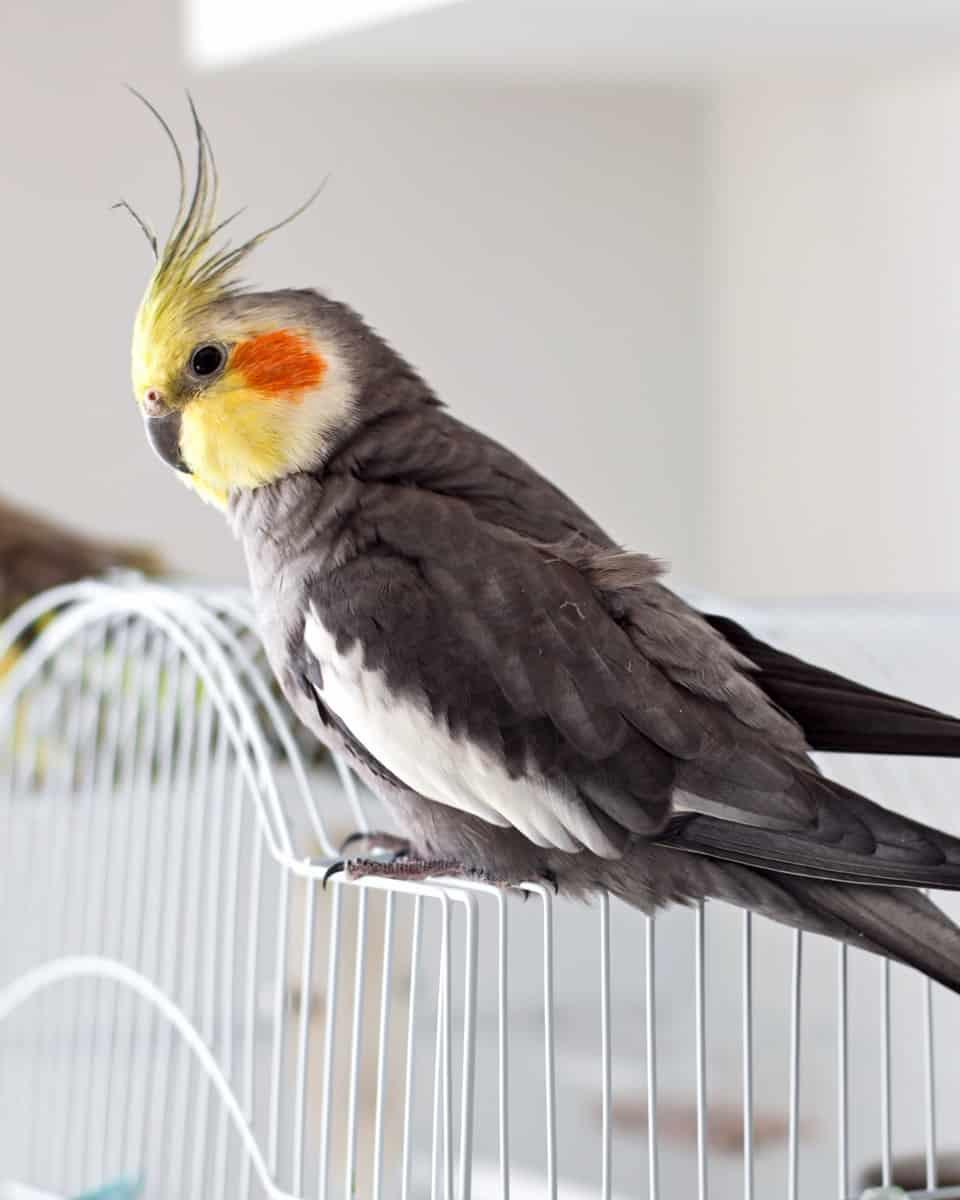Grey or gray cockatiel color mutation