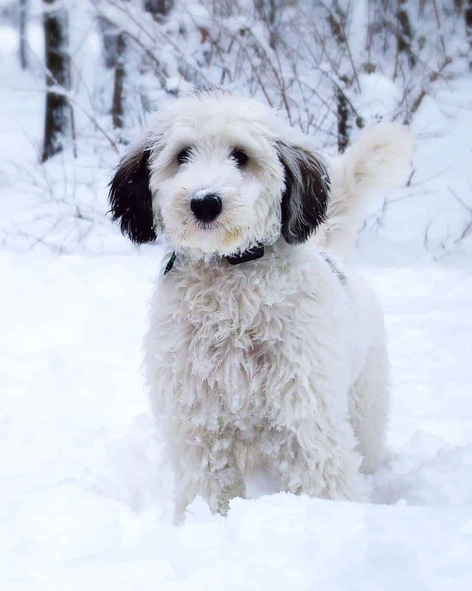 Happy young Sheepadoodle sitting in the snow