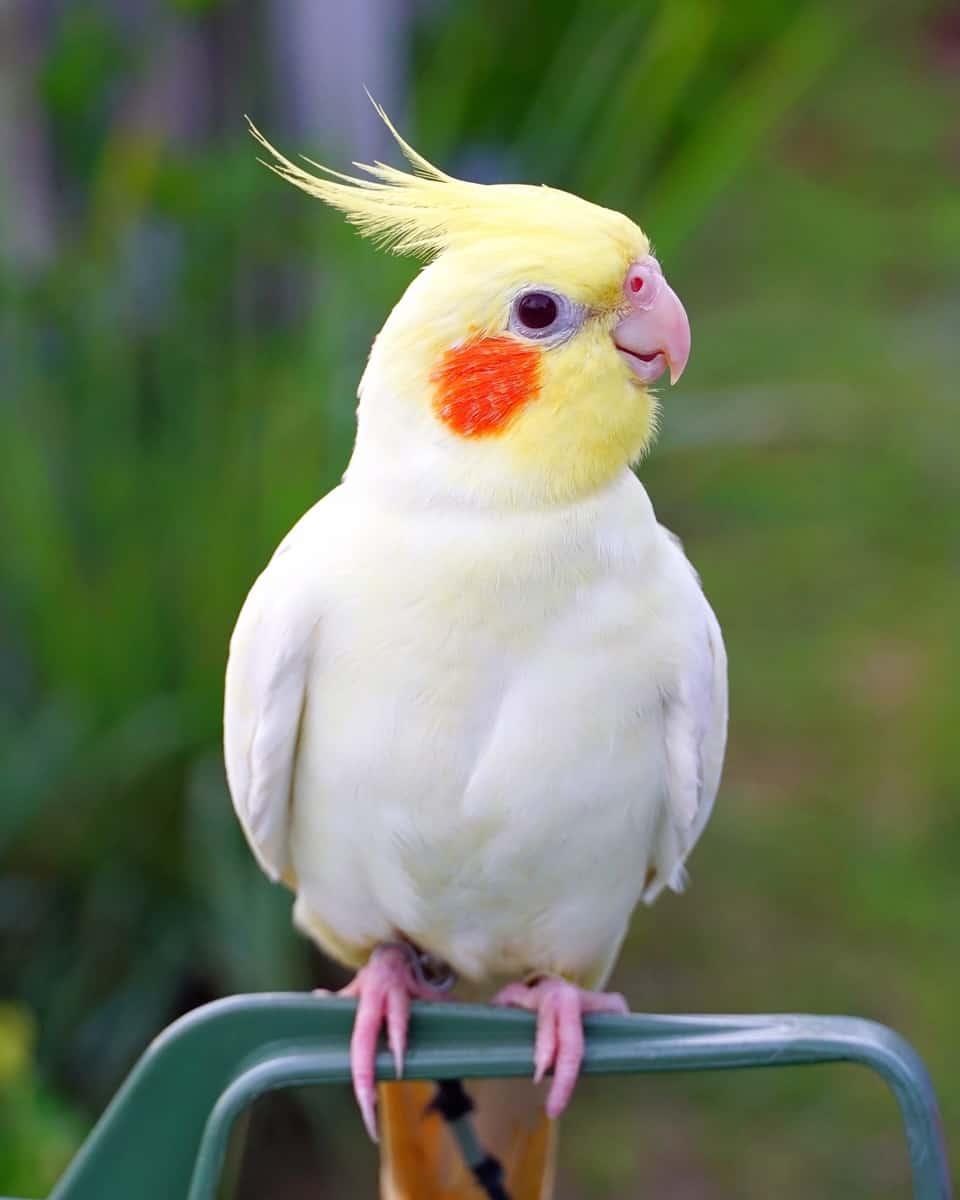 Lutino cockatiel color mutation