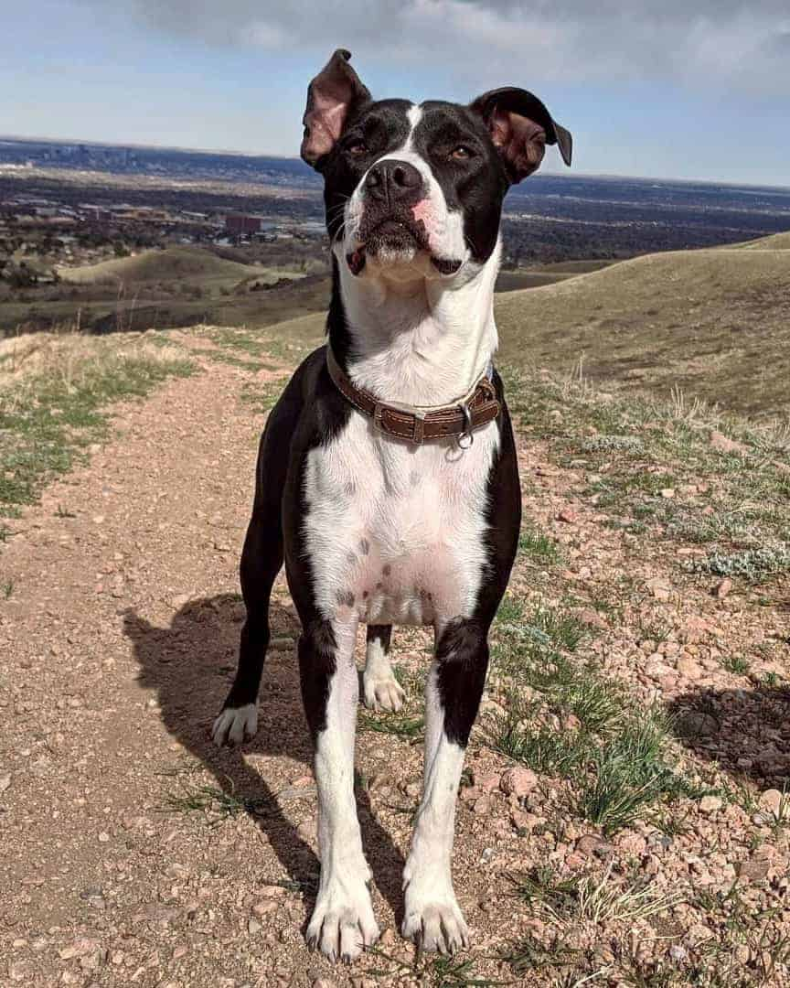 Pitbull Boston Terrier mix Boston Pit hiking with its owner