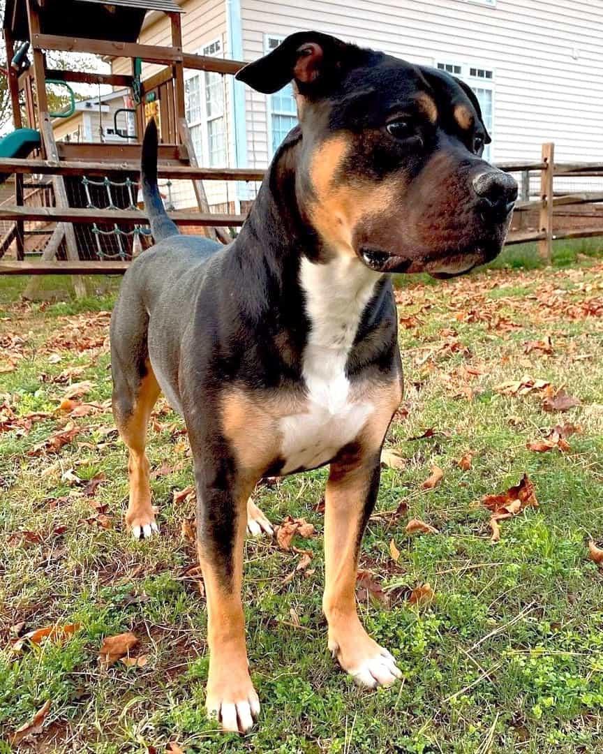 Pitbull Rottweiler mix standing in a backyard