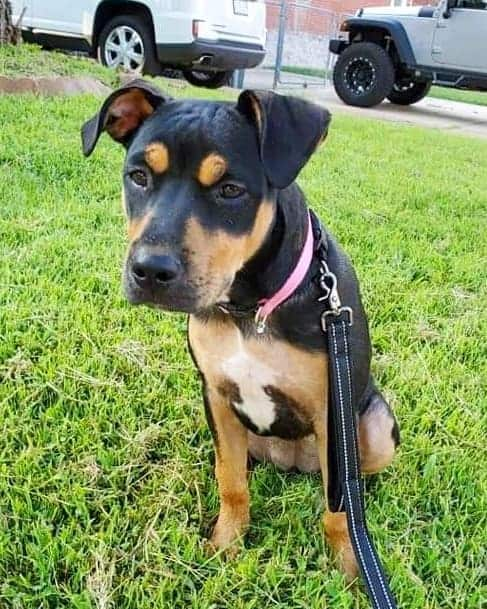 Pitweiler Pitbull Rottweiler mix puppy outdoors on leash