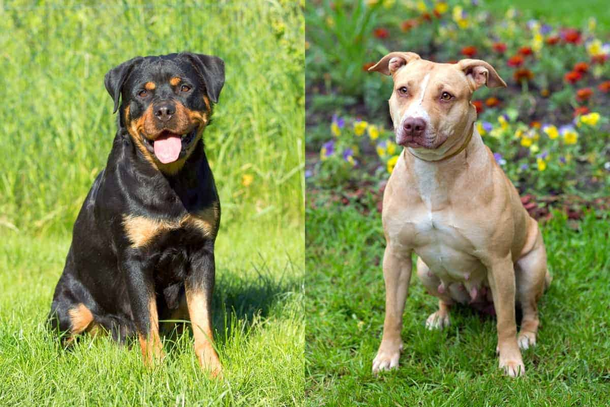Pitweiler Rottweiler Pitbull mix info pictures and facts