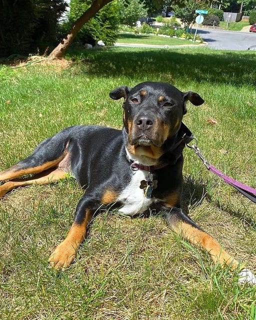 Pitweiler mix lying on grass comfortably
