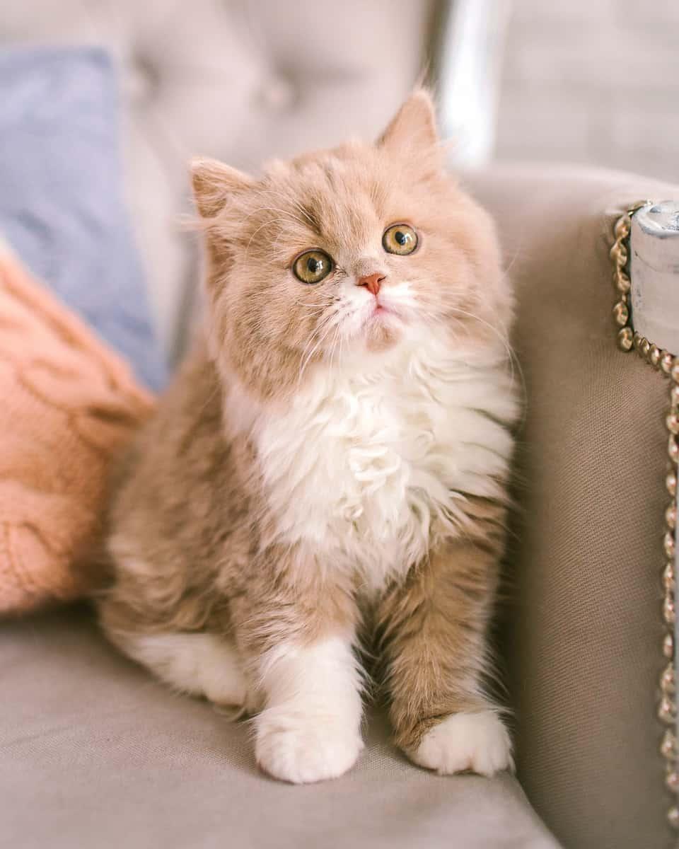 Selkirk Rex Poodle cat