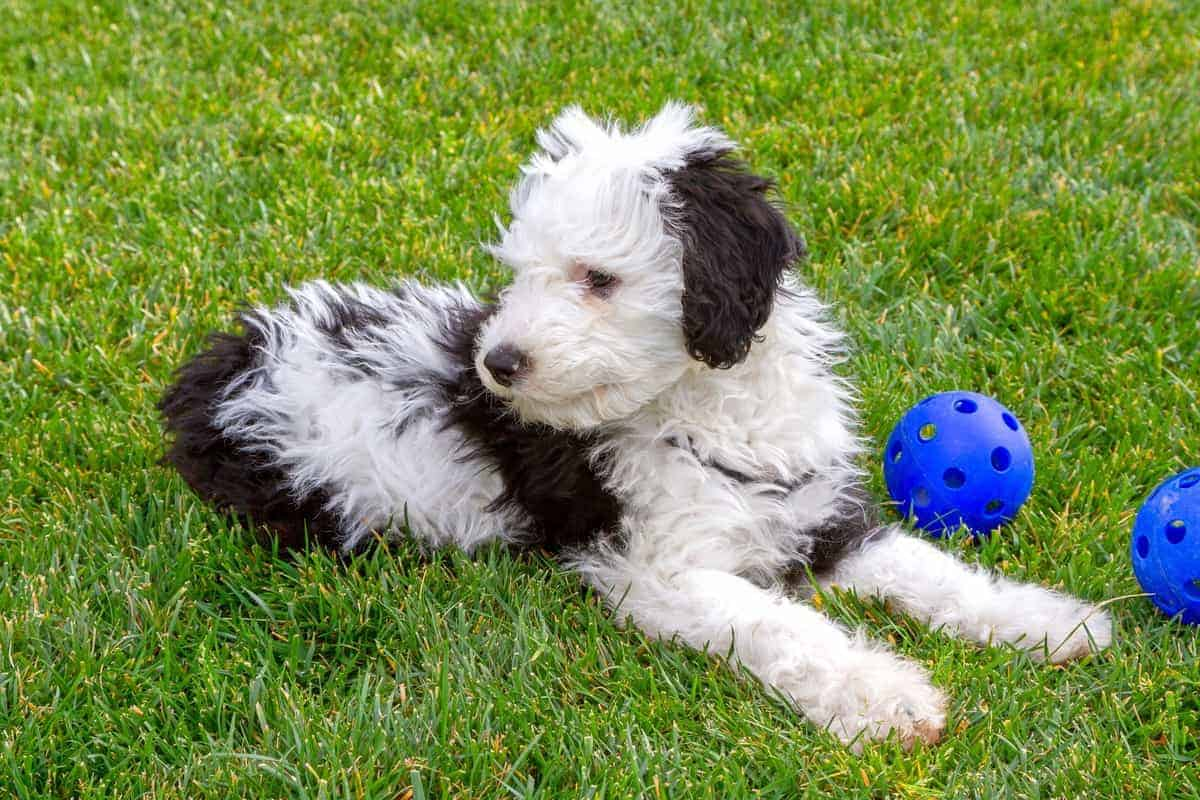 Sheepadoodle Poodle Old English Sheepdog mix puppy playing toys outdoors