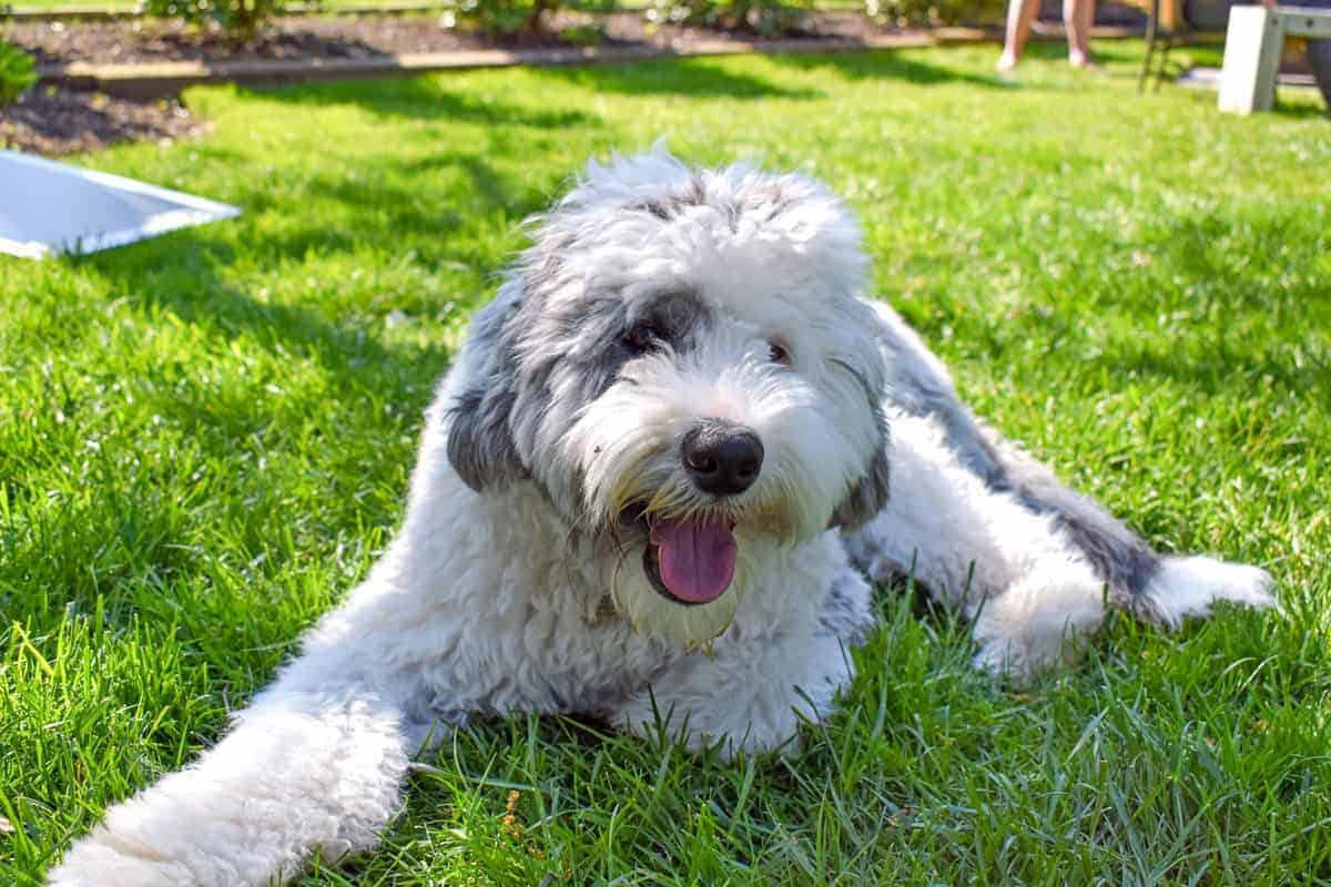Sheepadoodle puppy lying on the grass