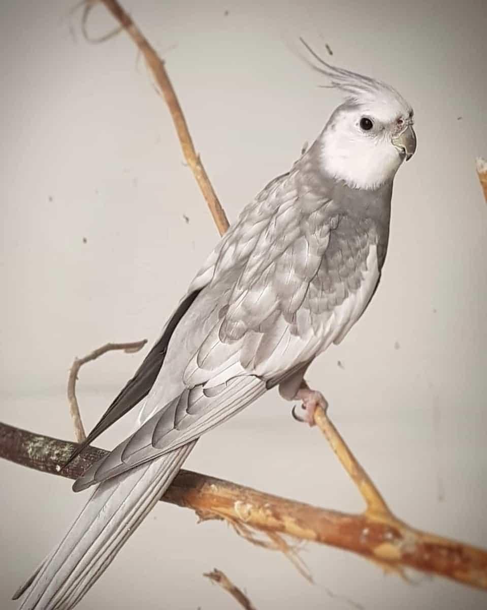 Silver cockatiel color mutation
