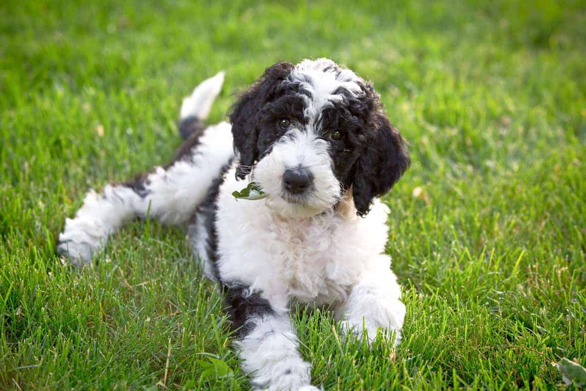 Sixe weeks old Sheepadoodle puppy for sale or adoption