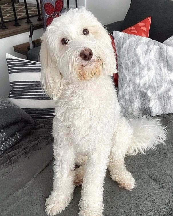 Solid white Sheepadoodle