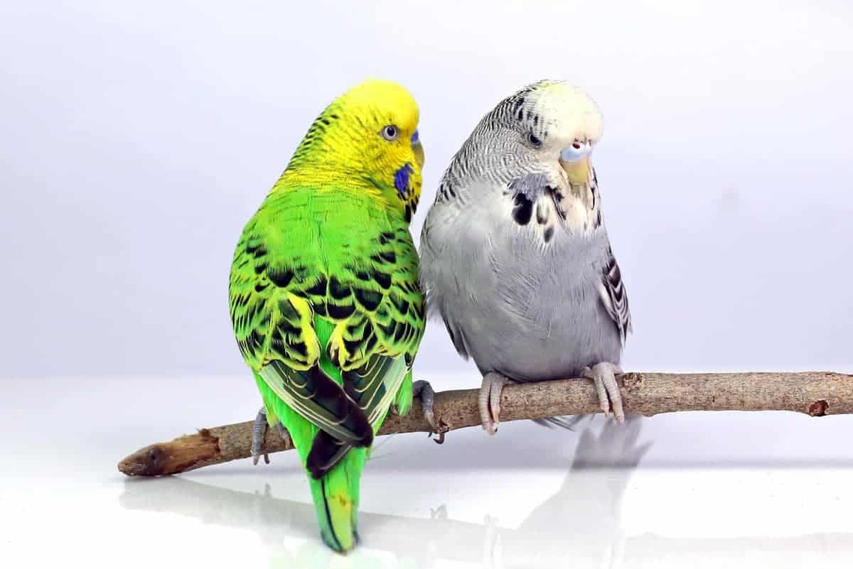 Two English budgies also know as show budgies or exhibition budgies