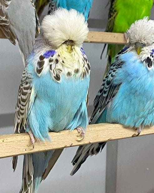 Two English budgies perching side by side