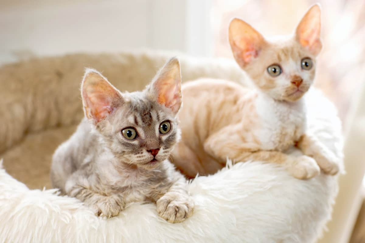 Two Poodle cat kittens for sale or adoption