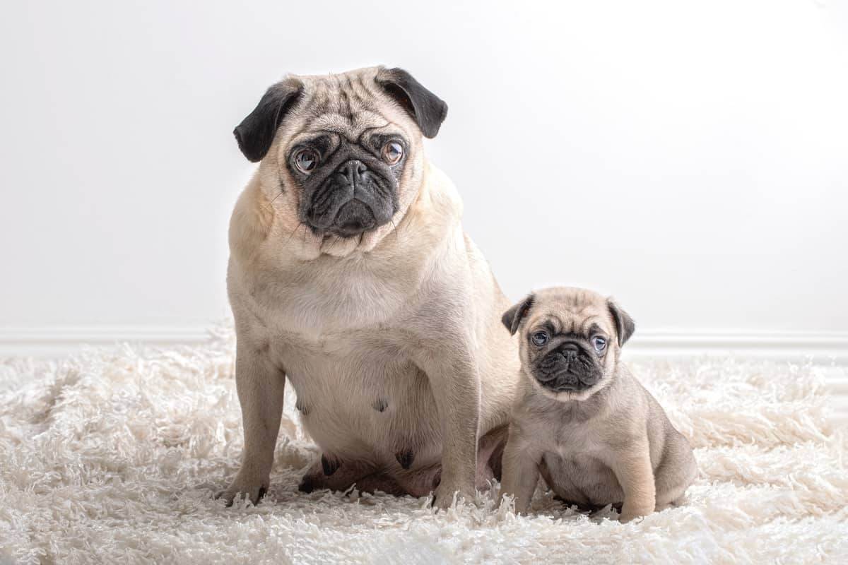 Two Pugs of different ages sitting together