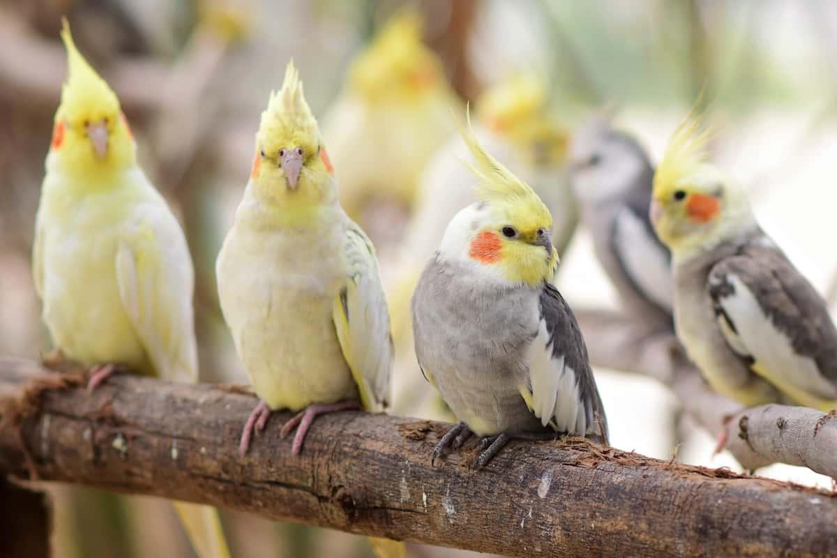 Types of cockatiel varieties and cockatiel color mutations